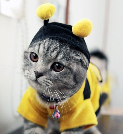 bumble bee cat